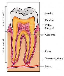 come è fatto il dente