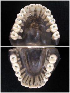 numrazione dei denti